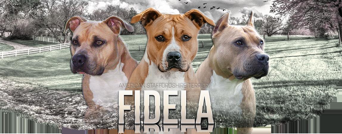 Americký stafordšírský teriér Fidela